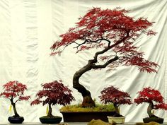 me is a german male born in i like bonsai. Bonsai Garden, Garden Trees, Trees To Plant, Garden Plants, Red Maple Bonsai, Indoor Bonsai Tree, Bonsai Trees, Bougainvillea Bonsai, Japanese Red Maple