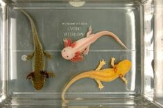 While the axolotl's natural hue is quite dark, almost black, scientists can breed them into a range of colors. The one at center looks forlorn because it lost its pigment sometime around birth, and has been unable to find it. Photo: Courtesy of Lee Thomas Animals And Pets, Baby Animals, Funny Animals, Cute Animals, Reptiles And Amphibians, Mammals, Axolotl Care, Axolotl Pet, Aquariums