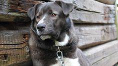 Animals cabin dogs fur wood (1920x1080, cabin, dogs, fur, wood)  via www.allwallpaper.in