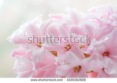Spring pink hyacinth flower macro background. Shallow dof Shallow, Rose, Spring, Flowers, Plants, Image, Pink, Plant, Roses