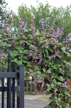Hyacinth Bean Vine - will grow 10 feet tall in one summer season - great to almost instantly fill a trellis or to climb a post or pole. Collect the purple pods in fall, store them over the winter and replant in Spring. Neverending purple flowers all summer! #gardenvinesflower