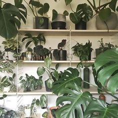 Make sure to keep your tropical indoor plants warm! . . . . #theplantsociety #theworkershouse #plantstagram #plantsofinstagram #houseplants #indoorplants #houseplantsofinstagram #plantsmakepeoplehappy #plantsarefriends #botany #plantgoals #greenery #plants #plantbased #aroidaddicts #foliage #leaf #plantlife #urbanjunglebloggers #plantparenthood #plantshelfie #nothingisordinary #liveauthentic #植物のある暮らし #정원 #観葉植物 #plantas #pflanzen #Regram via @theplantsocietyau