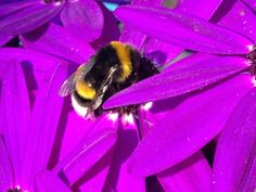 The bumblebee is sti