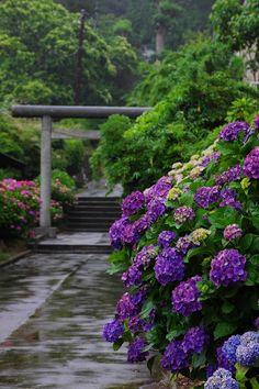 Rain on hydrangeas, Japan  待望の雨の画像(写真)