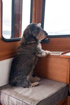 Dachshund Puppies, Dachshund Love, Cute Puppies, Cute Dogs, Dogs And Puppies, Doggies, Daschund, Terriers, Fox Terrier