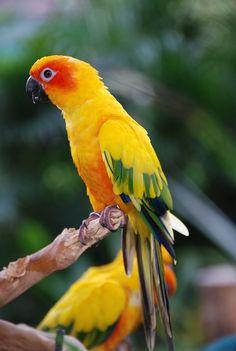 Perico del sol  De tamaño medio (28 a 30 cm.). El macho adulto y la hembra son de apariencia similar, con predominio de color amarillo dorado, con tintes rojizos en la cara y el vientre, alas con franjas azul y verde, cola verde hacia el borde.  Habita en Guayanas y norte de Brasil desde Roraima a Pará y oriente del Amazonas. En Venezuela en la región del Pantepui.  Otros nombres     Yellow Conure o Sun Parakeet (inglés), Perico dorado, Periquito del sol (Ven.).