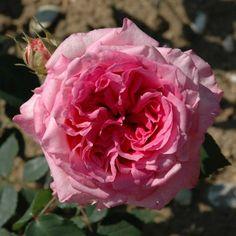 Columbian Climber (Climbing Rose) | Climbing Roses | Roses | Peter Beales Roses - the World Leaders in Shrub, Climbing, Rambling and Standard Classic Roses