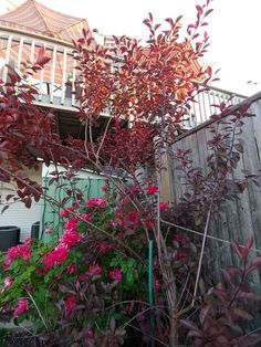 Sand cherry Cherry, Garden, Plants, Red, Garten, Lawn And Garden, Flora, Gardening, Outdoor