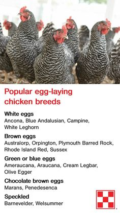 Hühner Backyard chicken breeds can lay eggs in many fun colors – from traditional white to olive gre Backyard Chicken Coops, Diy Chicken Coop, Chickens Backyard, Chicken Garden, Chicken Crafts, Backyard Poultry, Chicken Life, Chicken Eggs, Chicken Egg Colors