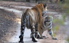 Dollar has surprised the tiger world by turning single father, adopting his young cubs after the death of their mother. Pictured here scalding his daughter for misbehaviour.Picture: Balandu Singh