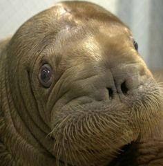 Walrus - Sybille Castro
