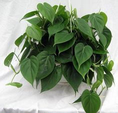 """Hirt's Heart Leaf Philodendron - Easiest House Plant to Grow - 4"""" Pot: Amazon.com: Grocery & Gourmet Food"""