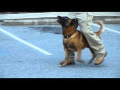 Police K9 Tactical Obedience could save your life. Check out this video to see how these movements help handlers keep an eye on their target instead of the dog!