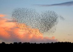 """""""Almost perfect heart shaped murmuration by the Starlings of King's Lynn Norfolk this evening""""  (29th Oct 2013) via James Lees (https://twitter.com/JamesSLees)"""