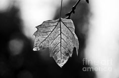 Last Standing Leaf - by Paulo Perestrelo Leaves, Leaf Art, Fine Art, Photography, Photograph, Fotografie, Photo Shoot, Fotografia, Visual Arts