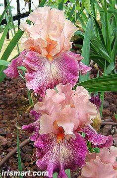 Tall Bearded Iris Musician (Iris germanica)                                                                                                                                                                                 More