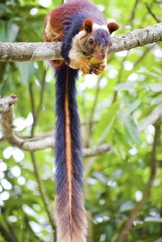 India is home to a colorful and large squirrel species known as the Indian giant squirrel. India is home to a colorful and large squirrel species, Ratufa indica, otherwise known as the Indian giant squirrel or the Malabar giant squirrel. Unusual Animals, Rare Animals, Cute Baby Animals, Animals And Pets, Funny Animals, Wild Animals, Animals Planet, Colorful Animals, Beautiful Creatures