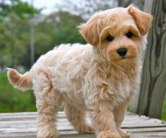Maltipoo. a maltese and a poodle. yes it is okay to cry