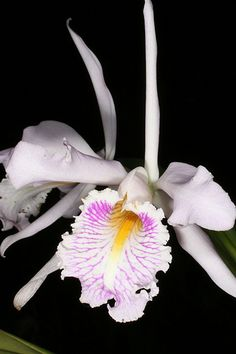 Cattleya maxima - Ecuador - Orchid Board - Most Complete Orchid Forum on the web !
