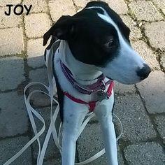 Dad can I go sniff the park?!! 🐾🐾🐶 Follow JOY at her Facebook page for many more photos and videos:  https://www.facebook.com/JOYMixedBreedGirl/  #dog #instagramdogs #ilovemydog #instapuppy #dogfamily #doggie #ilovemypet #dogofinstagram #happydog #dogface #dogsofig #dogselfie #doglovers #dogsofinstaworld #petstagram #doglover  #petlover #instadog #dailypawwoof #happydog_feature #dogsubmit