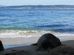 An Elephant Seal is enjoying our goregous view of the Monterey Bay Sanctuary.