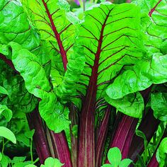 10 easy edible plants | Rhubarb | Sunset.com