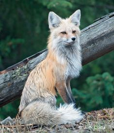 Red Fox Vixen, Yellowstone National park | Red Fox Images