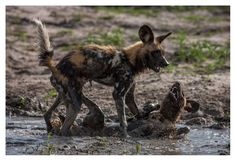 African Wildlife prints by Dave Hamman. Fine art images for sale on fine art canvas or fine art paper. Wildlife image collection of great images African Wild Dog, Okavango Delta, Sales Image, Wild Dogs, Image Collection, Prints For Sale, Art Images, Kangaroo, Safari