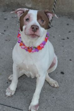 SAFE 6-1-2015 by : Posh Pets --- SUPER URGENT Brooklyn Center COOL MINT – A1037327 FEMALE, WHITE / BROWN, PIT BULL MIX, 3 yrs STRAY – STRAY WAIT, NO HOLD Reason STRAY Intake condition UNSPECIFIE Intake Date 05/23/2015