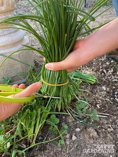 Growing and harvesting chives is easy. Plus, it's a great way to reduce grocery costs. Learn several techniques for harvesting chives, whether you're picking just a handful or an entire plant. #herbgardening #gardening Herb Gardening, Organic Gardening, Vegetable Garden Design, Garden Tools, Chives Plant, Plant Diseases, Hardy Perennials, Growing Herbs, Container Plants