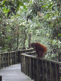 #Orangutan #Sandakan #Borneo