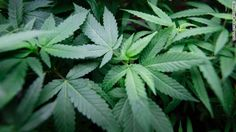 CNN opinion. But with marijuana, those who use it heavily prior to age 25 are more likely than nonusers to experience a drop in IQ. Marijuana legalization is a risk not worth taking.