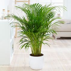 Buy areca palm / bamboo palm Dypsis lutescens: Delivery by Waitrose Garden in as… - Modern Easy Care Indoor Plants, Best Indoor Plants, Indoor Bamboo Plant, Air Plants, Ficus, Plantes Feng Shui, Plantas Indoor, Bamboo Palm, Indoor Palms