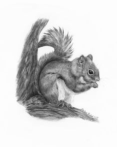 'Red Squirrel' fine art print by Marlene Mullet Wildlife art in pencil https://www.etsy.com/listing/512163957/squirrel-fine-art-print-wildlife-art?ref=listing-shop-header-0
