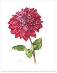 botanical drawing example