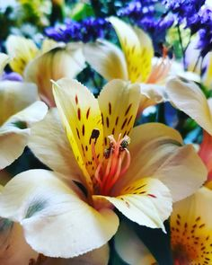 How to grow and care for Alstroemeria, also known as Peruvian Lily, in your home as cutflowers or as bedding or container plant in your garden. Alstroemeria Plants, Flowers Name List, Letterbox Flowers, Friendship Flowers, Long Stem Flowers, Peruvian Lilies, Lily Garden, Colorful Plants, Container Plants