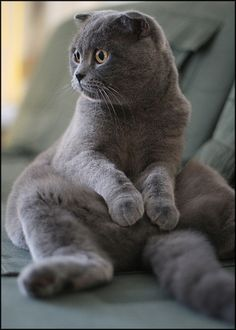 Classic Scottish Fold Buddha Pose I Want One Of These Derpy Kitties So Badly Find This Pin And More On British Shorthair Cats