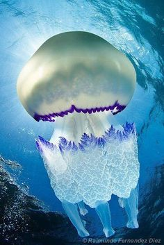 Jellyfish Beauty under water