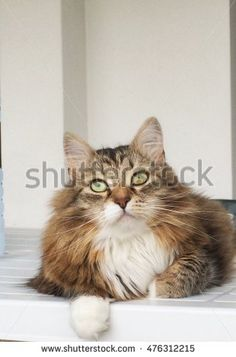 Brown kitten with white, longhair siberian breed - New on @shutterstock #image #stock #pet #puppy #kitten #chat #gatos #gorgeouscats #cat #adorablecats #猫 #siberian #animals #feline