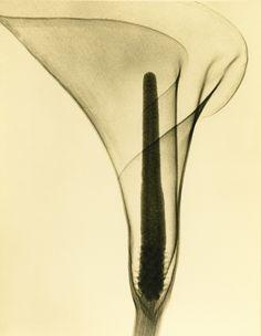 Tasker, X-ray of a Lily, c. 1930's by Dr. Dain L. Tasker.