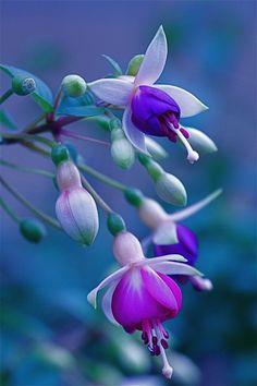 fuchsias flowers #flowers 'fuchsia