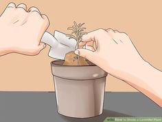 How to Divide a Lavender Plant. Many species of lavender are perennial plants, meaning they live for two or more years. These plants grow larger each spring and summer, and may eventually outgrow your garden. However, lavender is fragile. How To Propagate Lavender, Perennials, Divider, Aurora Sleeping Beauty, Plants, Image, Places, Planters, Perennial