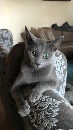 If you are looking for a truly unique and beautiful kitten you don't have to look much further than the Russian Blue breed. Delightful Discover The Russian Blue Cats Ideas. I Love Cats, Cool Cats, Kittens Cutest, Cats And Kittens, Tabby Cats, Siamese Cats, Russian Cat, Russian Blue Kitten, Animals And Pets