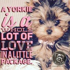 Yorkshire Terrier – Energetic and Affectionate Biewer Yorkie, Teacup Yorkie, Yorkie Puppy, Toy Puppies, Dogs And Puppies, Doggies, Dog Hotel, Yorky, Terrier Breeds