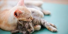Methimazole For Cats. Ask the veterinarian to learn more or you may try to acquire online vet advice or ask … Online Vet, Online Pet Store, How To Introduce Cats, Introducing A New Cat, Cat Steps, Cat Whisperer, Pet Supplements, Love Your Pet, All About Cats