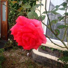 Bloooooomimg Nora #rose