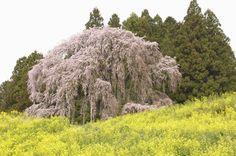 福島県二本松市に立つ「合戦場(かっせんば)のしだれ桜」。一本の木のように見えますが、実は二本が寄り添うように並んでいます。そのため別名「夫婦桜」とも。  樹齢170年とも言われるこのベニシダレザクラ、根を張る地が八幡太郎義家と安倍貞任・宗任との合戦場と伝えられているため、この名で呼ばれるようになりました。車で30分ほどの場所にある日本三大桜のひとつ・三春滝桜の孫木という名血統でもあり、そのままの美しさを引き継いでいます。