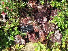 6. Heuchera 'Midnight Rose' Herbaceous Border, Heuchera, Burgundy Color, Hyde, Color Themes, Maroon Color
