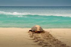A turtle on Cape Verde islands. Una tortuga en Cabo Verde.