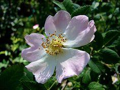 Rosa canina, koiranruusu